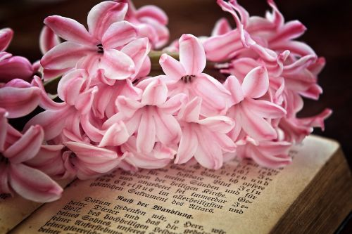 hyacinth flowers pink