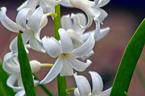 hyacinth in arkansas  blossom  spring