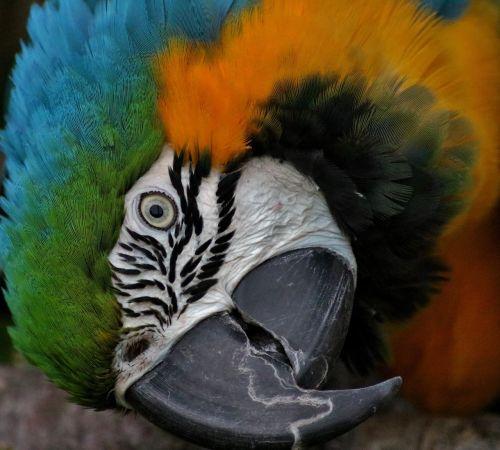 hyacinth macaw parrot bird