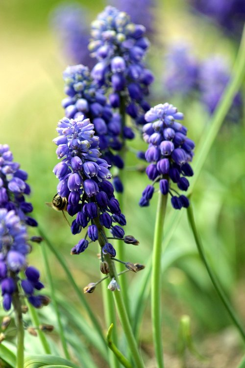 hyacinth mouse  muscari  flower