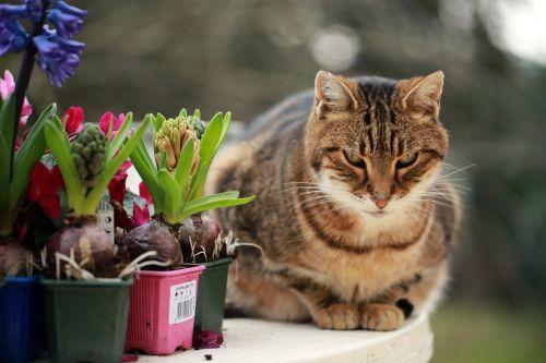 hyacinths cat plantations