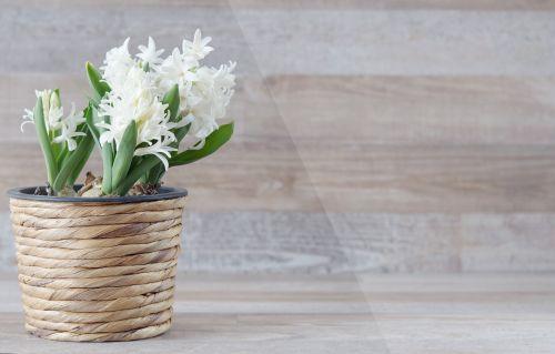 hyacinthus orientalis hyacinth flower