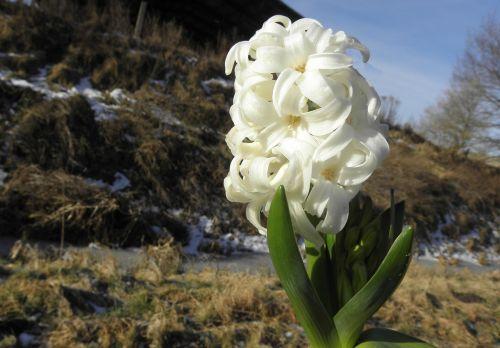 hyazinte flower early bloomer