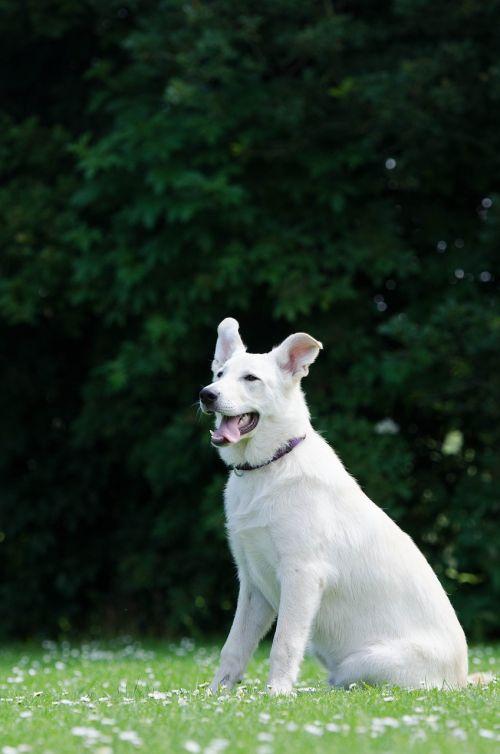 hybrid white shepherd dog