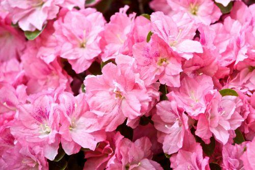 Hybrid Azalea Rhododendron
