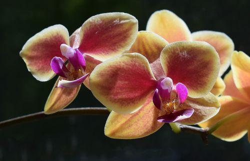 hybrid phalaenopsis close-up phalaenopsis