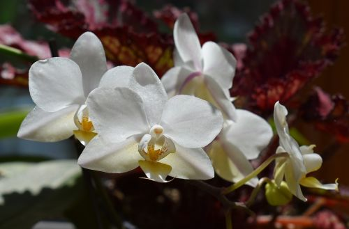 hybrid phalaenopsis phalaenopsis orchid