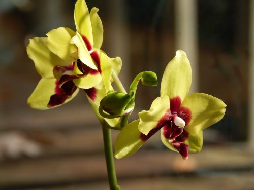 hybrid phalaenopsis with buds phalaenopsis orchid