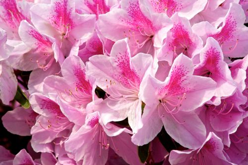 Hybrid Pink Azalea