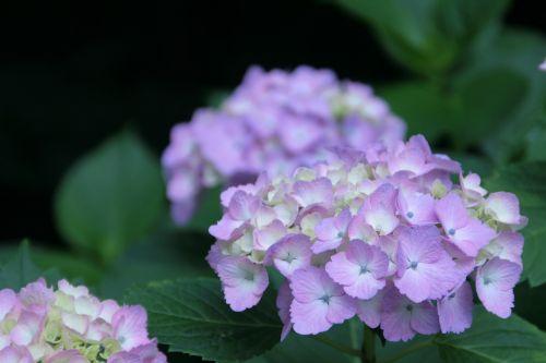 hydrangea june purple