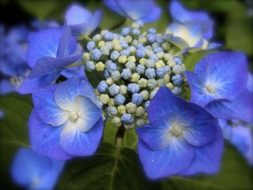 hydrangea blue hydrangea blue
