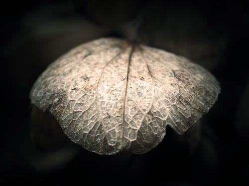hydrangea leaf faded