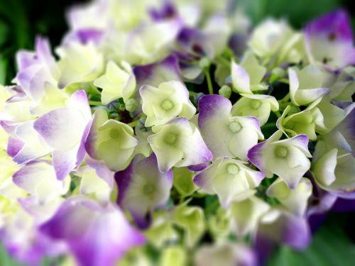 hydrangea flowers rainy season