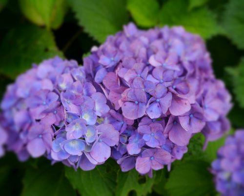 hydrangea purple kannonzaki