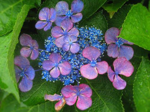 hydrangea ota kisan flowers