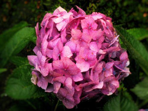 hydrangea ota kisan pink