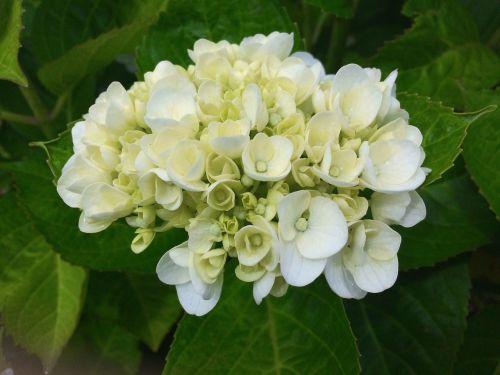 hydrangea ota kisan white