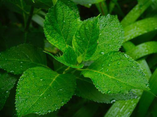 hydrangea leaf branch