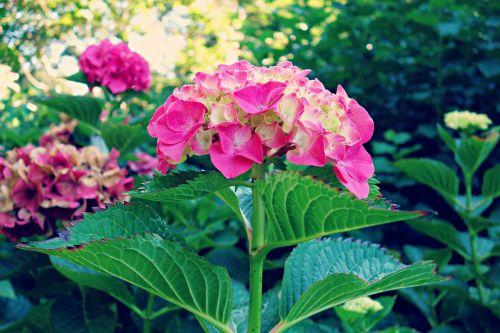 hydrangea plant flower
