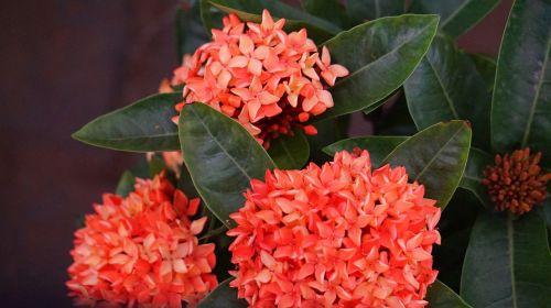 hydrangea red flowers intensive