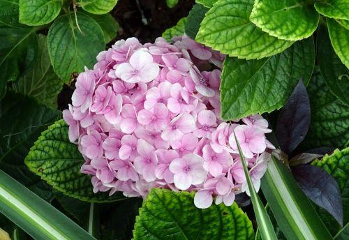 hydrangea flower mophead hydrangea