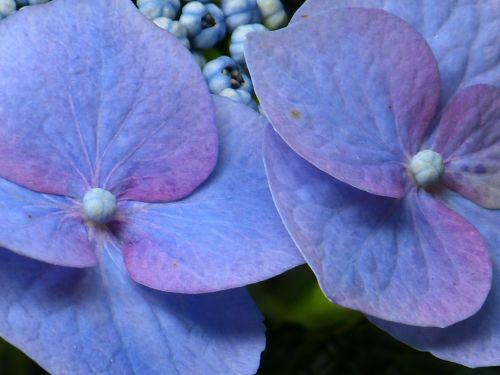 hydrangea flower blossom