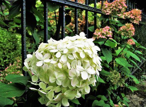 hydrangea white autumn