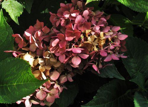 hydrangea autumn flower genus