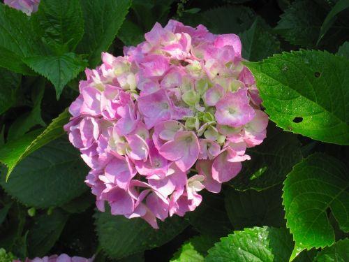 hydrangea pink leaf