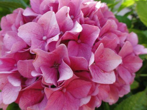 hortenzija,rožinis,gėlės,augalas,rožinės gėlės,makro,sodas,gamta