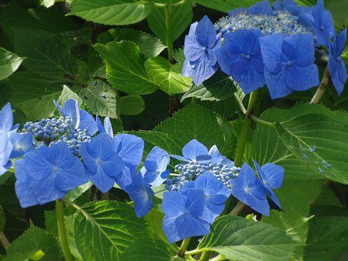 hydrangea blue flower blue