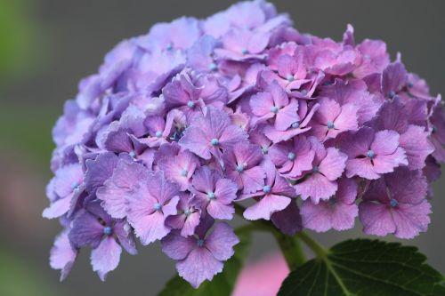 hydrangea flower purple