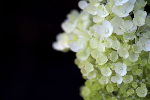 hydrangea plants nature