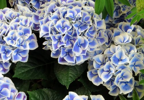 hydrangea blue marginé