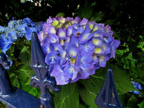 hydrangea blue flowers flowers