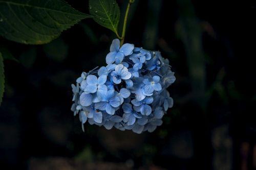 hydrangea kamakura flowers