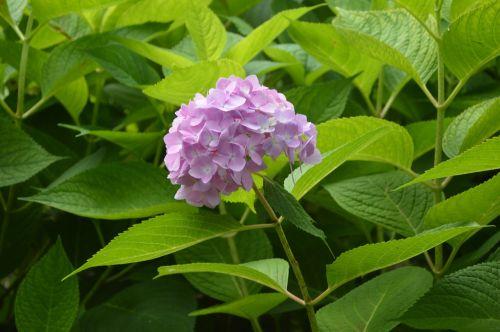 hydrangea freshness blossom