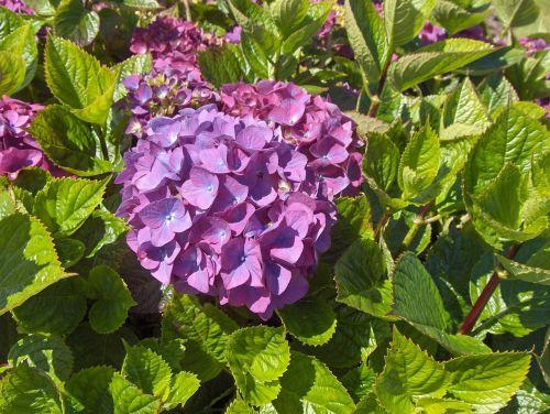 hydrangea hydrangeas flowers