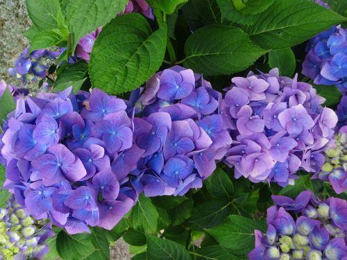hydrangea blue purple