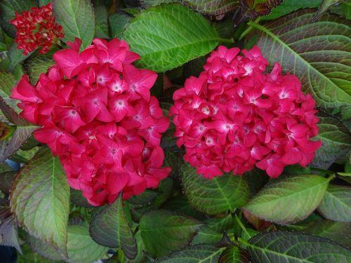 hydrangea red perennial
