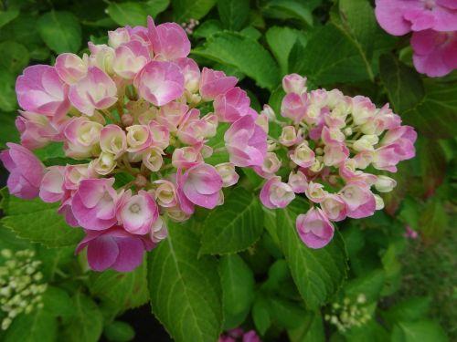 hydrangea pink white