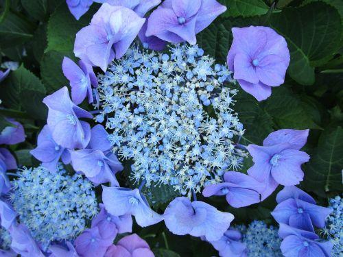 hydrangea hydrangea flower inflorescence