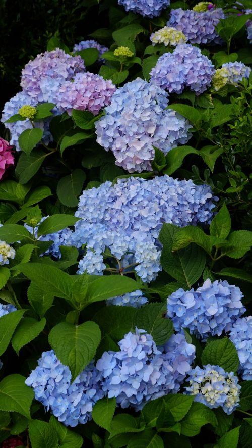 hydrangea summer flower