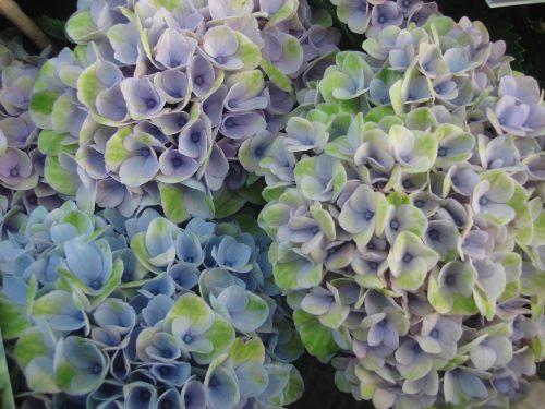hydrangea flowers f