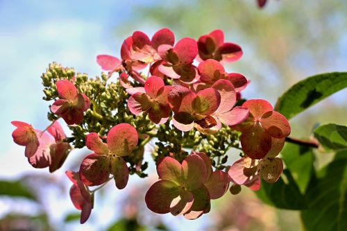 hydrangea bush summer