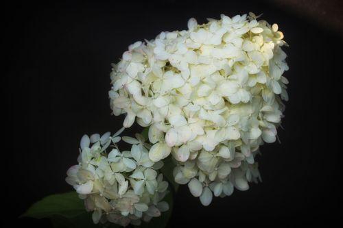 hydrangea flower hydrangeas