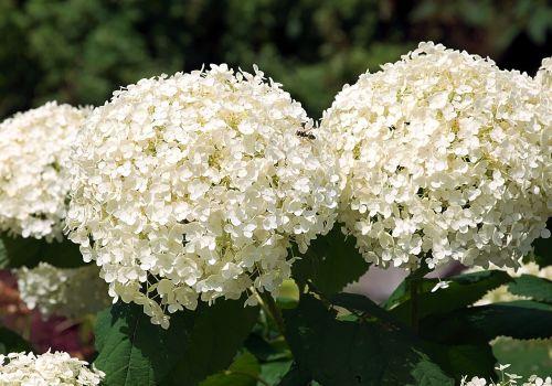 hydrangea blossom bloom