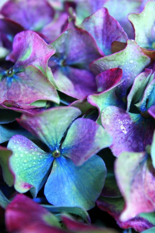 hydrangea purple colorful