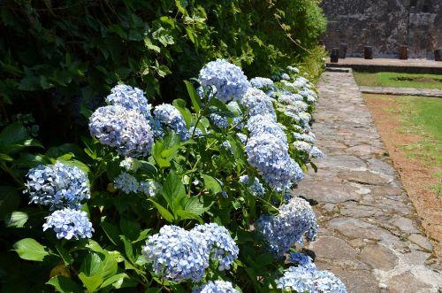 hydrangea flower floral
