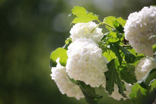 hydrangea bush hydrangea bush